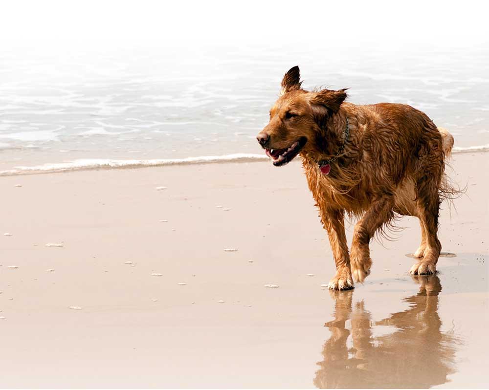 Ta hunden med til stranden i sommer