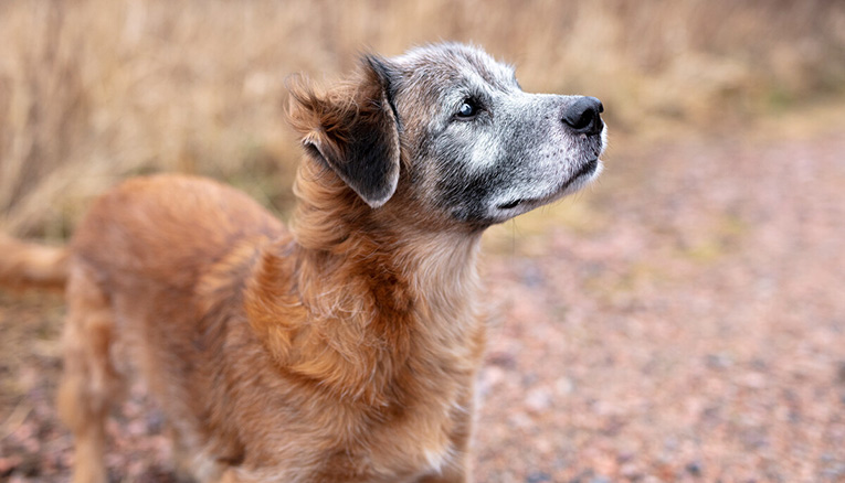 Et sunt kosthold for seniorhunden